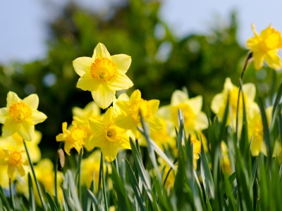daffodils, spring, flowers
